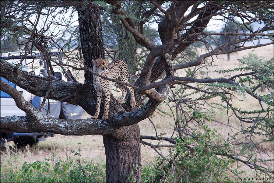 Young cheetah scouting - Cheetahs of Serengeti №35