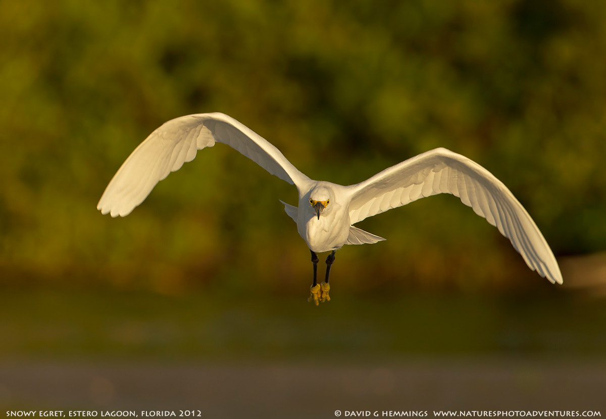 Photograph Snowy Egret in flight by David Hemmings on 500px