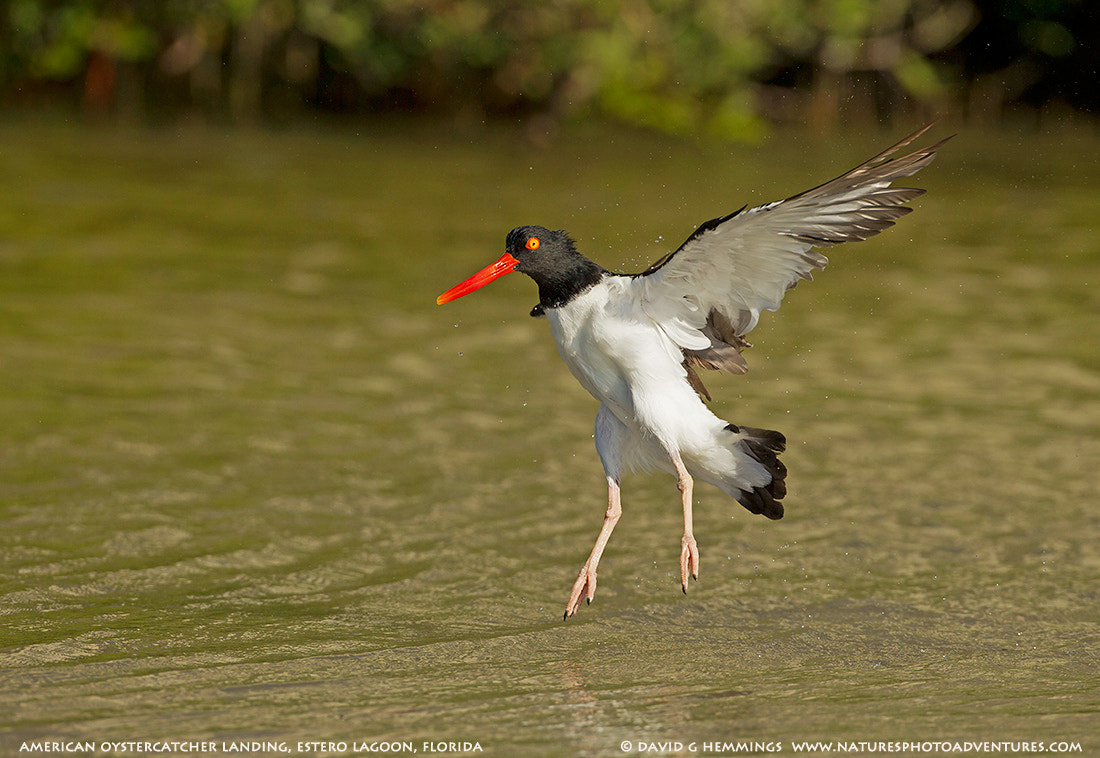 Photograph American Oystercatcher landing by David Hemmings on 500px