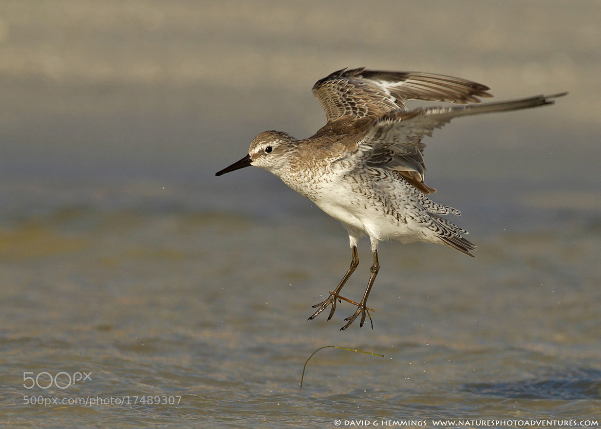 Photograph Red Knot landing by David Hemmings on 500px