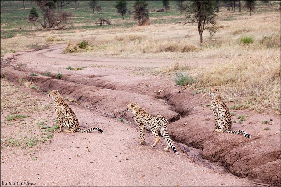 Cheetahs of Serengeti №36