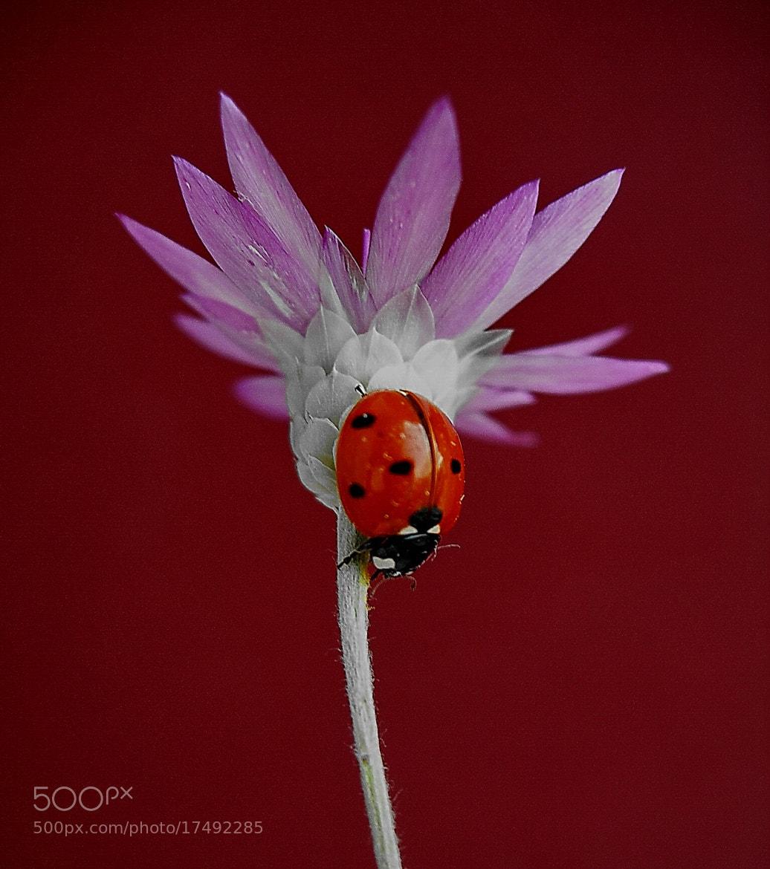 Photograph ladybug by tugba kiper on 500px