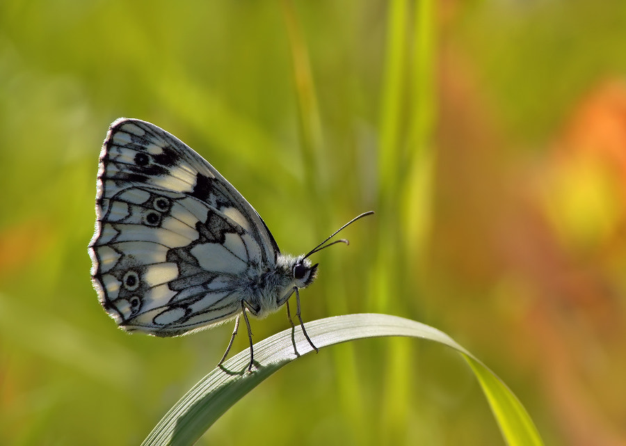 Photograph Melanargia galathea by Aleksey Cheplenko on 500px