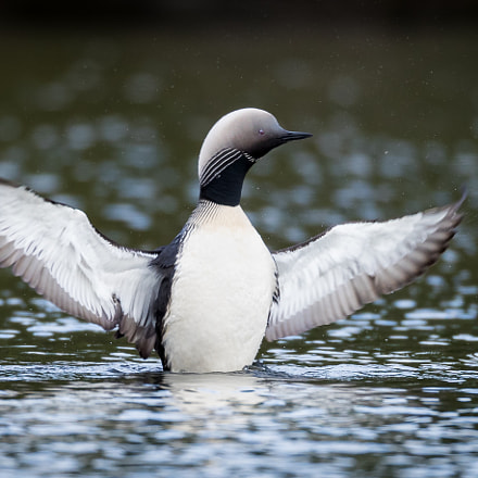 Pacific Loon, Canon EOS-1D X MARK II, Canon EF 800mm f/5.6L IS