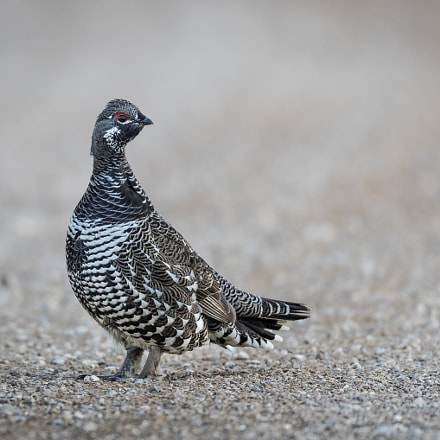 Spruce Grouse, Canon EOS-1D X MARK II, Canon EF 800mm f/5.6L IS