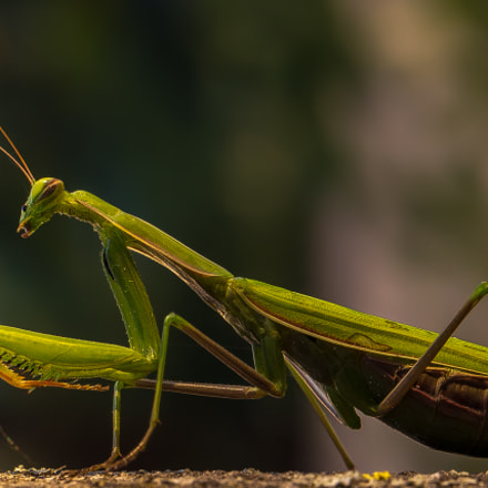 Praying mantis, Canon EOS-1D X