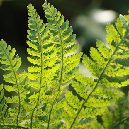 Ferns in the sunlight, Canon EOS 70D, Sigma 180mm f/2.8 EX DG OS HSM APO Macro