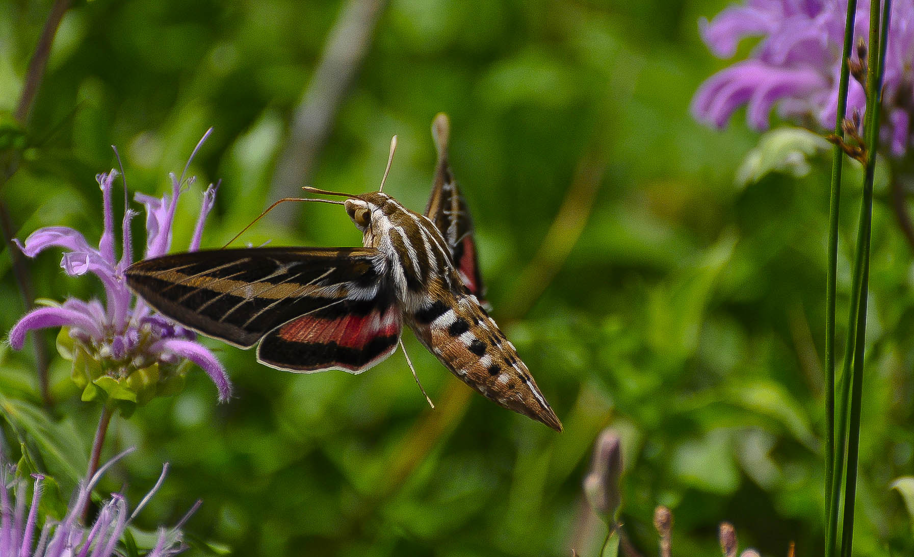 Photograph spinx moth  by bob perkins on 500px