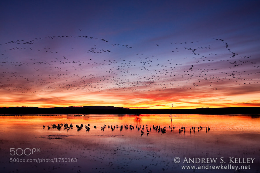 Photograph Sunrise with Snow Geese by Andrew Kelley on 500px