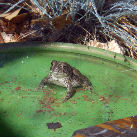 Toad Watering Hole, Nikon COOLPIX S6100