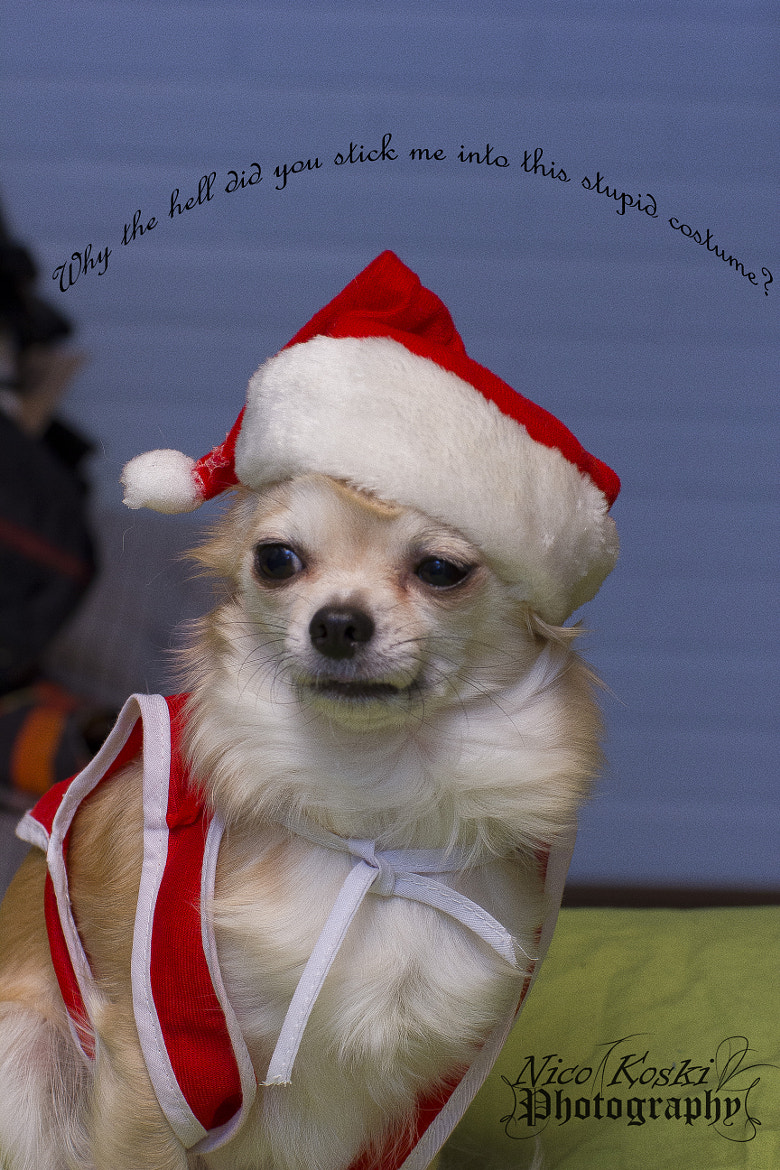 Photograph Chihuahua in a christmas costume :D by Nico Koski on 500px