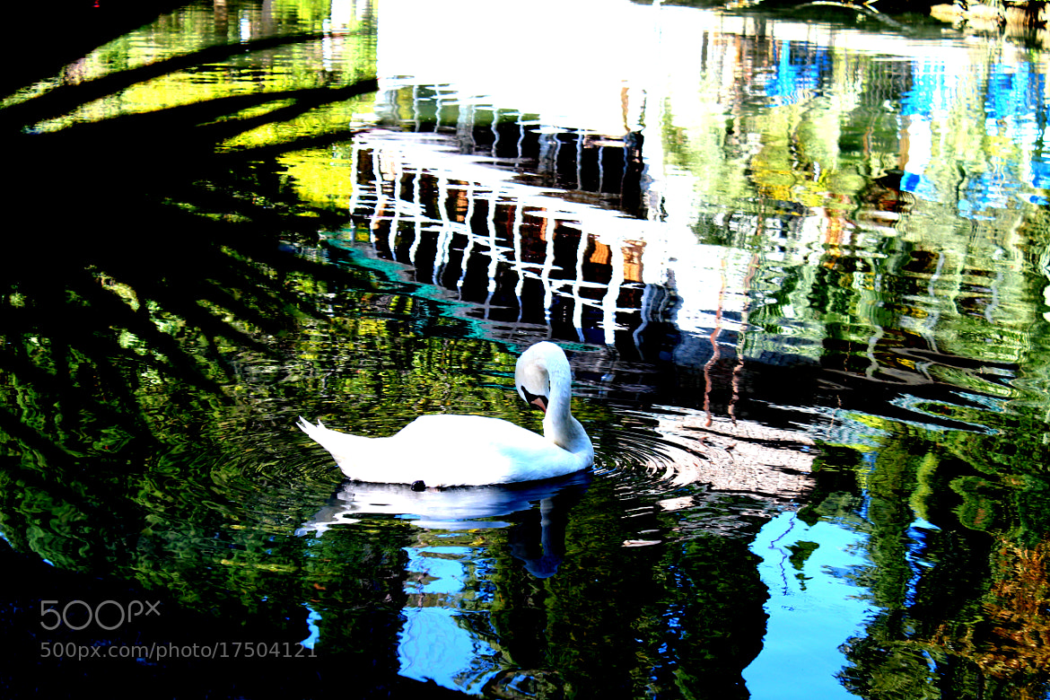 Photograph Swan on the mirror by lili Kogonia on 500px