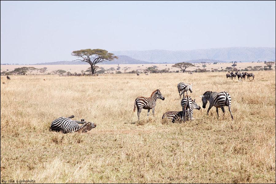 Zebras of Serengeti №3