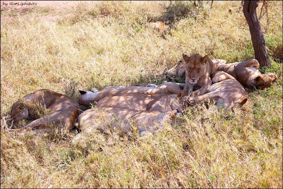 Lions of Serengeti №14