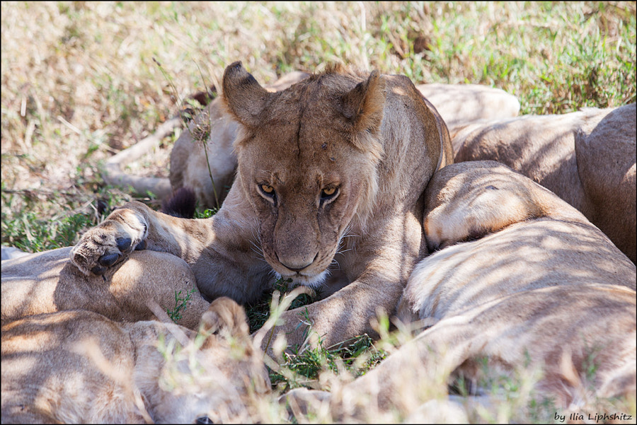 Lions of Serengeti №15