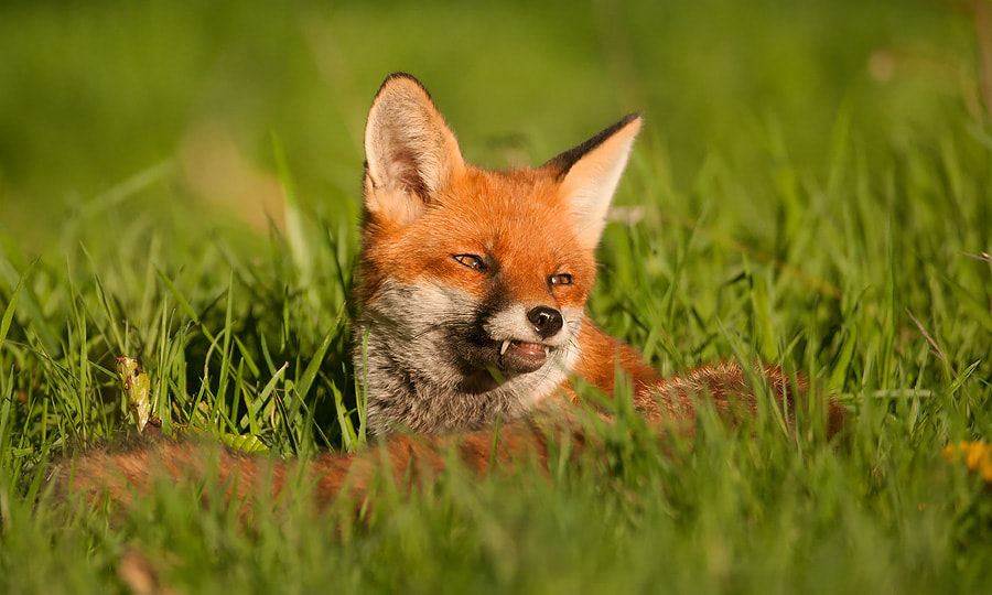 Photograph Red Fox by Oscar Dewhurst on 500px