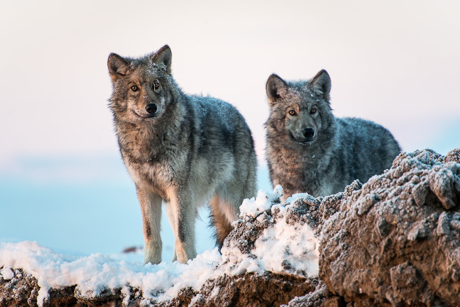 Photograph wolves by Ivan Kislov on 500px