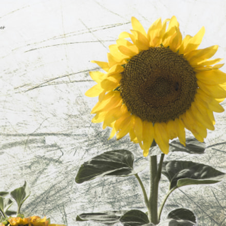 Painting sunflowers, Canon EOS 600D, Canon EF 55-200mm f/4.5-5.6 II USM