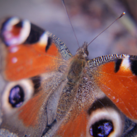 peacock butterfly, Canon EOS 1100D, Sigma 50-200mm f/4-5.6 DC OS HSM