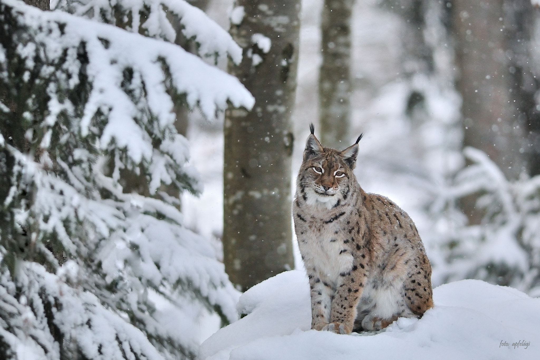 Photograph Lynx smile by Ágnes Apfel on 500px