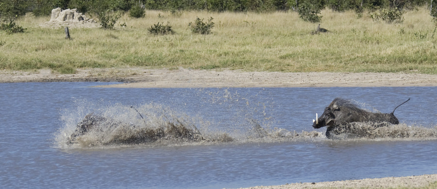 For us at least a rather strange sighting of two male Warthogs fighting in a waterhole, taken in Savute Marsh, Botswana, 7th May 2010