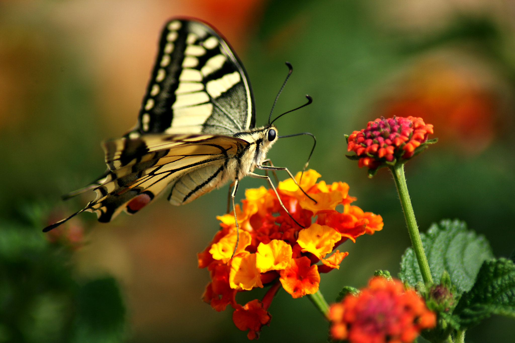 Photograph Buterfly by Jaime VilchesFD on 500px