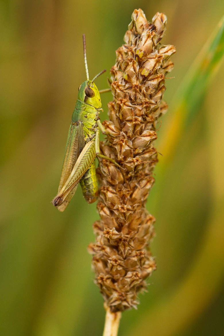 Photograph Grasshopper by Markus _ on 500px