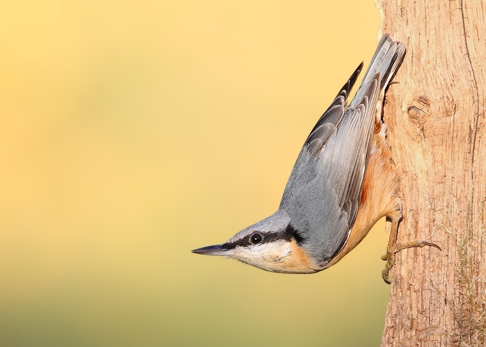 Photograph Nuthatch by Karen Summers on 500px