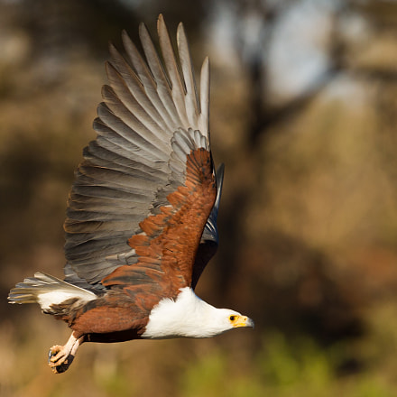 African Fish Eagle, Canon EOS-1D MARK IV, Canon EF 300mm f/2.8L IS II USM