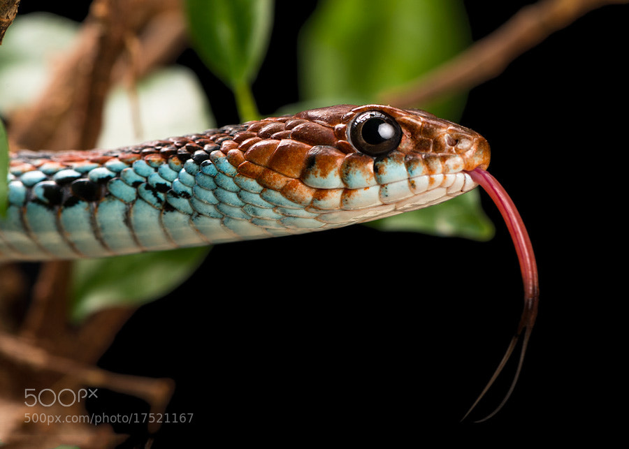 Photograph San Francisco Garter Snake by Henrik Vind on 500px
