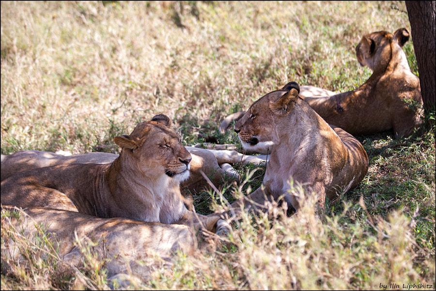 Lions of Serengeti №16