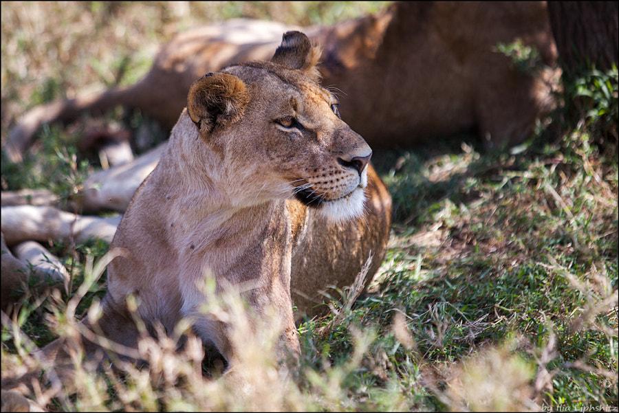 Lions of Serengeti №17