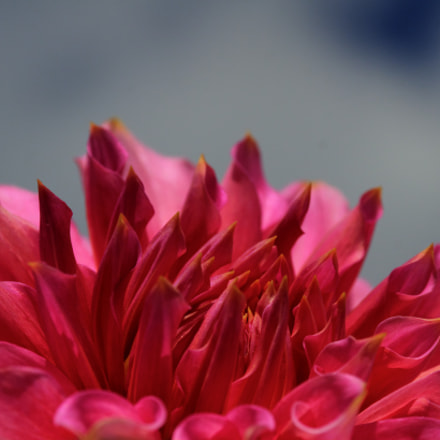 A close shot of a dahlia.