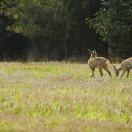 3  undisturbed deers, Sony SLT-A33, Sony DT 18-250mm F3.5-6.3 (SAL18250)
