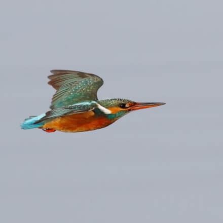 Kingfisher, Canon EOS 7D MARK II, Canon EF 500mm f/4.5L