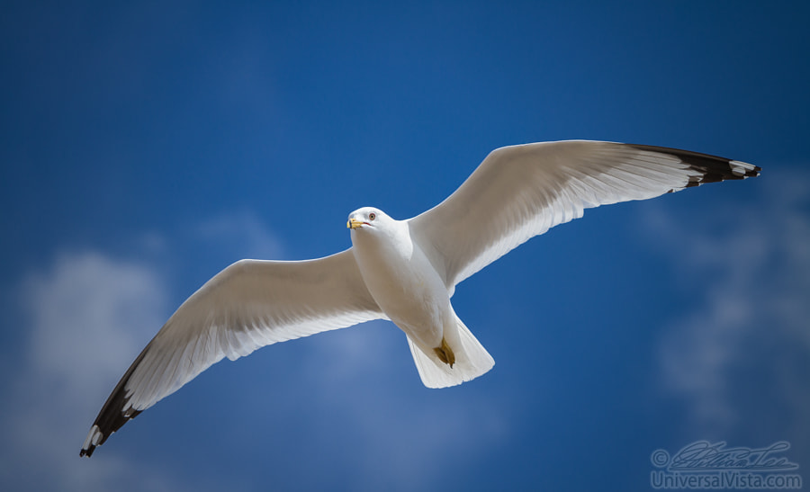 A seagull flying in the blue sky by William Lee