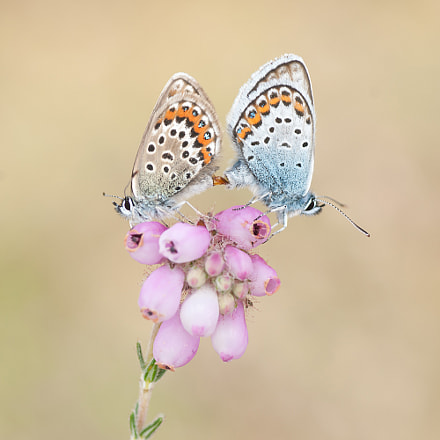 Mating Silver-studded Blue, Sony DSLR-A700, Tamron SP AF 90mm F2.8 Di Macro