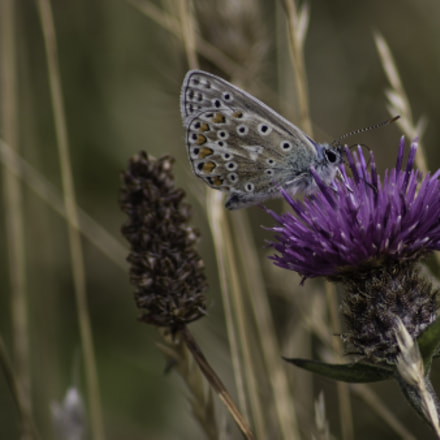 Common Blue, Canon EOS 760D, Sigma 50-200mm f/4-5.6 DC OS HSM + 1.4x