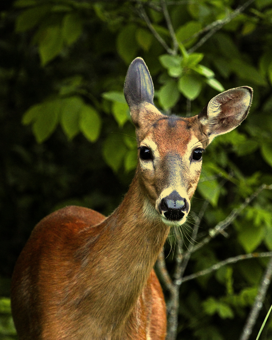Photograph Spring Doe by Jim Sinclair on 500px
