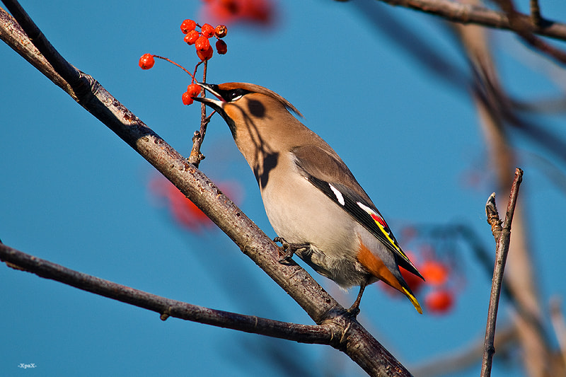 Photograph waxwing by Ivan Kislov on 500px