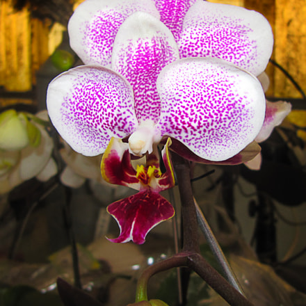 Orchid, Canon POWERSHOT SX200 IS