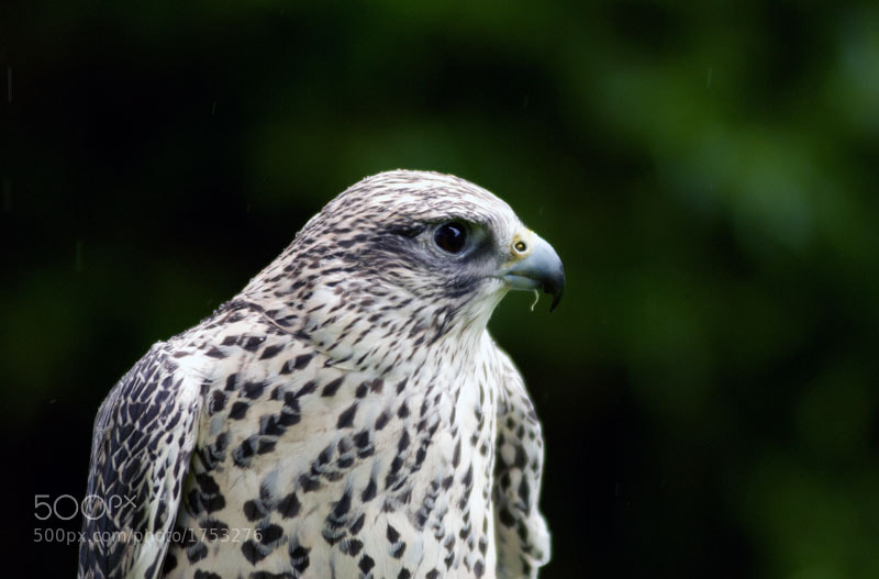 Photograph Gyr Falcon in the rain by Heather Leslie Ross on 500px