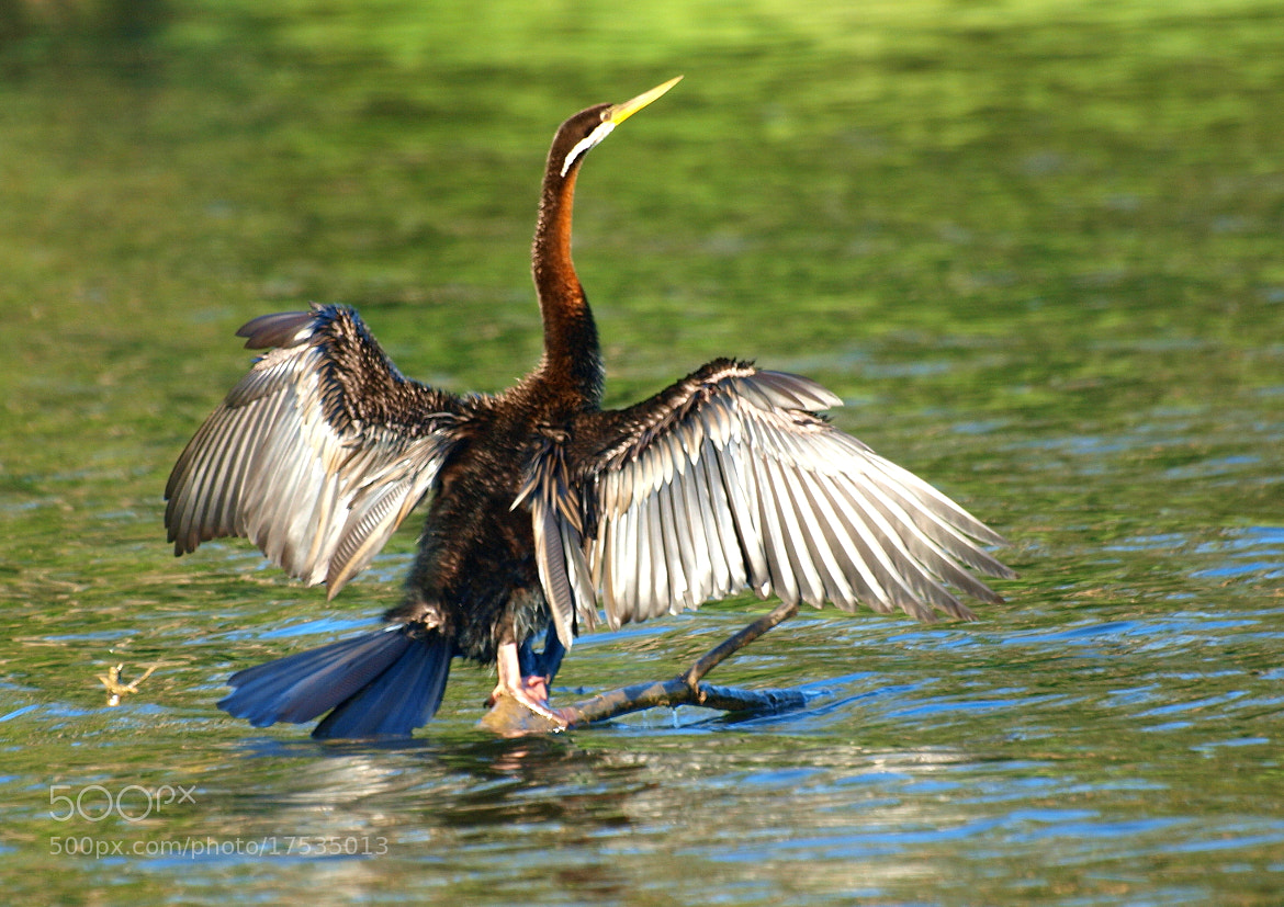 Photograph Australian Darter by di  northey on 500px