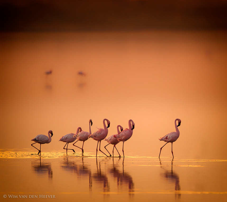 Photograph Flamingo's in gold by Wim van den Heever on 500px