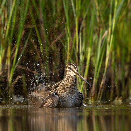 Bathing  snipe, Canon EOS-1D X, Canon EF 500mm f/4L IS II USM