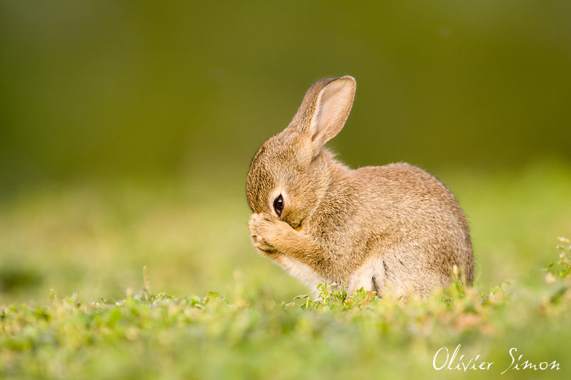 Photograph Shy rabbit by Olivier SIMON on 500px