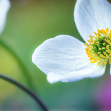 Narcissus-flowered anemone closeup, Canon EOS 600D, Canon EF 100mm f/2.8 Macro