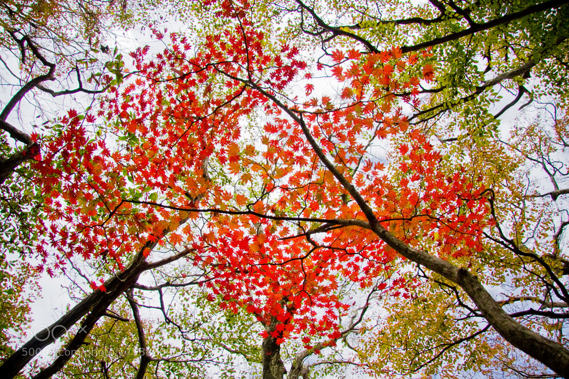 Photograph The maple tree by Michael Kang on 500px
