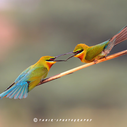 Blue tailed bee Eater, Canon EOS 7D MARK II, EF400mm f/5.6L USM