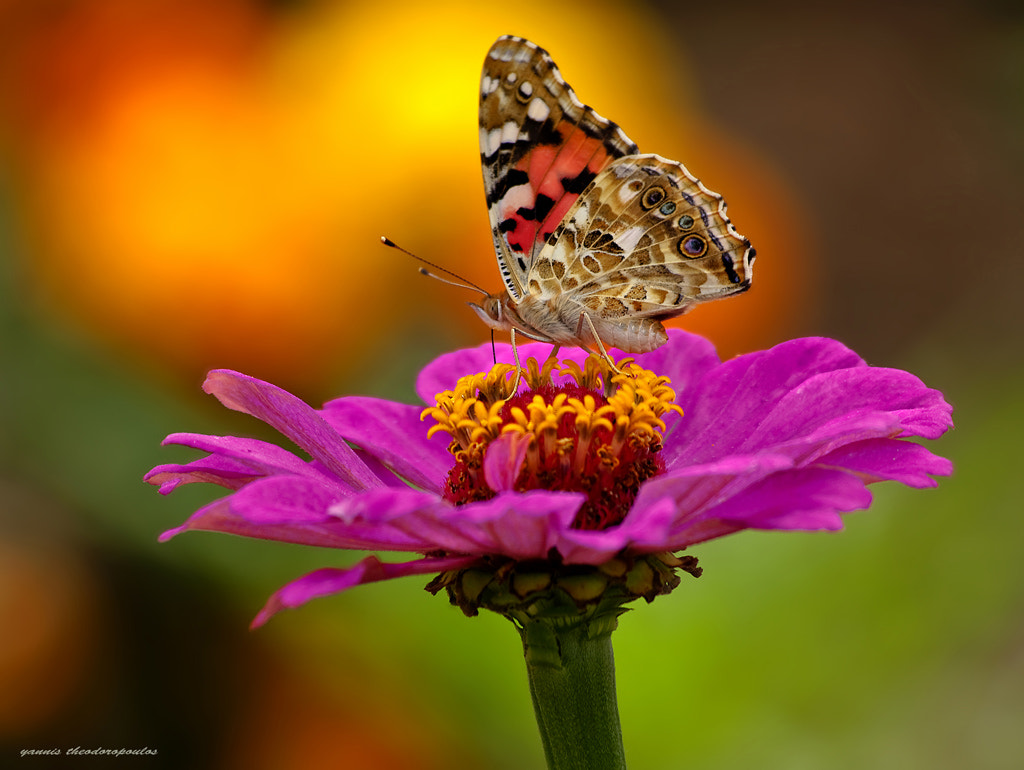 Photograph Vanessa Cardui by yiannis theodoropoulos on 500px